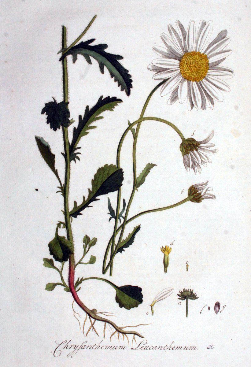 madeliefje, eetbare planten, plukken, nederlandse natuur
