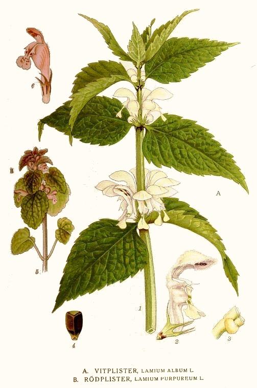 witte dovenetel, eetbare planten, nederlandse natuur, nederland